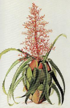 """Olímpia Reis Resque: Uma bromélia com formato de ânfora grega """"...A planta não estava florescendo, mas não tive dúvida de que era uma nova espécie. Foi comprovado que o era e foi denominada Aechmea polyantha"""".Texto e ilustração de Margaret Mee ((1909-1988). No Blog!"""