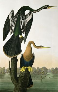 Mbiguá mbói (Anhinga anhinga) Black-Billed Darter, from 'Birds of America', engraved by Robert Havell (1793-1878) 1836 (coloured engraving) by John James Audubon (1758-1851) (after)