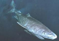 The 14th Largest Shark: Pacific sleeper shark (Somniosus pacificus) 14.44 feet via @Discovery Channel @Shark Week