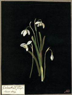 Mary Delany - Galanthus nivalis, from an album (Vol.IV, 1777 - collage of coloured papers, with bodycolour and watercolour, on black ink background Plant Illustration, Pattern Illustration, Botanical Drawings, Botanical Prints, O Hobbit, Collage Artists, Floral Illustrations, British Museum, Female Art