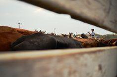 O cotidiano do campo é trazido para a capital durante as comemorações da Semana Farroupilha