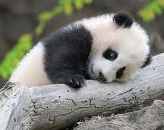 panda - drôle d'oiseau
