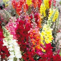 snapdragons! Bright, big and can be cut mid-summer to rebloom later! and a variety of colors.. guess what is getting planted in MY garden this year?  :)
