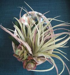 Air Plant Abalone Shell