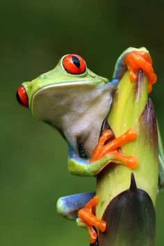 Red-Eyed Tree #Frog. Is also called the red-eyed leaf frog. #Amphibians
