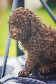 This made me laugh. It looks like my lagotto named Vitto after he runs through the puddles in the backyard!