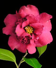 Camellia japonica 'Nanbankô' (Japan, 1971)