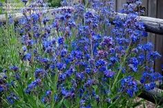 Image result for anchusa