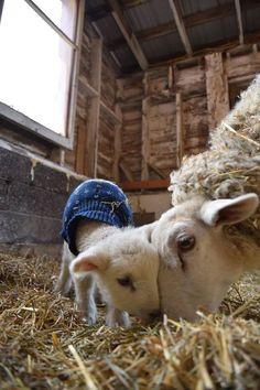 Because a natural wool 'coat' isn't enough...
