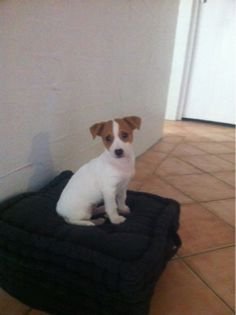 Jack Russell cross Mini Foxy (May)