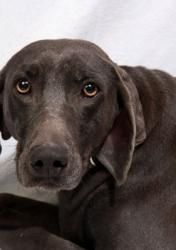 Gypsy Weimer is an adoptable Weimaraner Dog in Cabool, MO. Gypsy Weimer Weimaraner Adult Female Large Actual Birthdate: 3/12/09 Weight: 65 pounds  Adoption fee: $175    L...
