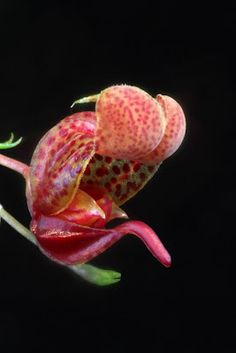 Scaphosepalum is a genus related to Masdevallia and Pleurothallis and belonging, therefore to the Pleurothallid alliance. All the species in the genus, a total of about 15, have very unusual flowers. This species comes from Costa Rica and Panama.