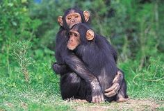 Nuova ricerca: anche gli scimpanzé sanno essere generosi.