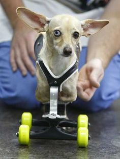 ALL ANIMALS ARE WORTHY OF LOVE AND A GOOD HOME: Vespa, who was born with no front legs, was fitted with special wheels to be a replacement for them. Link leads to a video of her first run!  She's so excited to be able to zoom!