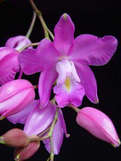 Laelia eyermaniana oscura, Cultivo Salvador G., Foto RJM (Rolando Jiménez Machorro) - Flickr - Photo Sharing!