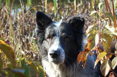 Old Croatian Sight Hound | Old Time Farm Shepherd dog face photo and wallpaper. Beautiful Old ...