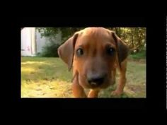 #dogs101 - Rhodesian Ridgeback. Immune to insect bites. Require lots of exercise. Low health problems. Susceptible to dermoid sinus. Do well in extreme hot and cold weather.