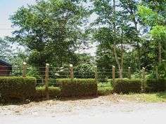 Detalle del ritmo que llevan los arbustos podados que bordean  la verja del Jardín de la Iglesia La Milagrosa, Damajagua, Los Montones. Taken in 2005, by Nancy.