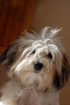 dog.  Your daily dose of cute!  Your welcome. (Actually this is what my hair looked like when I woke up today!)