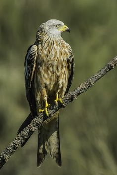 Red kite (Milvus milovus) by Fernando Sanchez de Castro on 500px