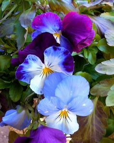 PANSIES--Garden Photography Nature Photography Pansies Flowers Picture of Pansies Blue Pansies Horticulture Blue Flowers Macro Photo (15.00 USD) by EyeLoveTheView