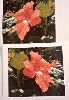 Following the viewing of Tim's Vermeer, we were asked to choose and prepare an image (along with a reverse/mirror image) that we would be replicating with the aid of mirrors on Friday. I chose a photo I took of a hibiscus flower in my dad's garden. Tim's Vermeer, Reverse Mirror, Hibiscus Flowers, Mirror Image, Summary, Mirrors, Friday, Garden, Painting