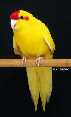 pássaros exóticos em Itatiba (SP)