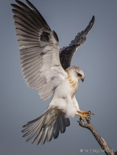 White-tailed Kite Landing The post White-tailed Kite Landing appeared first on Xup Social. Of Prey Pretty Birds, Beautiful Birds, Animals Beautiful, Cute Animals, Exotic Birds, Colorful Birds, Bird Wings, Eagle Wings, Young Animal