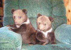David y Lana Fechter han adoptado recientemente dos cachorros adorables de oso siberiano que fueron rechazados por su madre en un zoológico de Chicag...