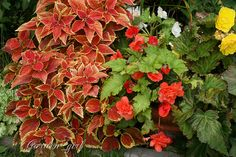 Rustic Orange Coleus. Explore Garden_girl_WI's photos on Flickr.