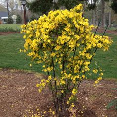 The SC state flower, Carolina Jessamine, in full bloom in my yard.