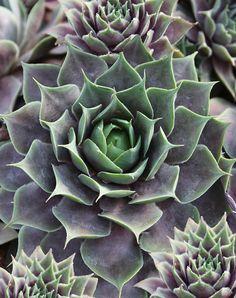GardenSmart :: ARTICLES :: Vortex Hens and chicks - Secret Stunners for Late-Season Color