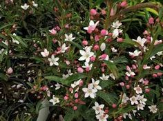 Image result for grevillea wax bud