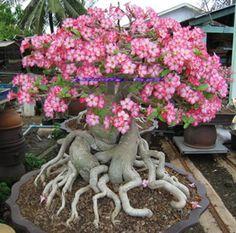 """Large Desert Rose Plants   ... Thai Socotranum (Desert Rose)! """"Bangkla"""" 1 Large Plant COMPACT Style"""