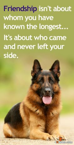The German Shepherd ##germanshepherd #dog