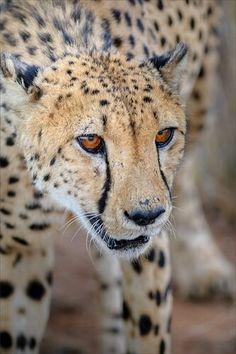 A Cheetah's Intense Stare.