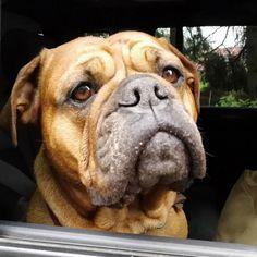 Continental Bulldog, Bullen, Old English Bulldog, Dogs, Bull Mastiff Puppies, Pet Dogs, Doggies