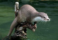 Perching otter