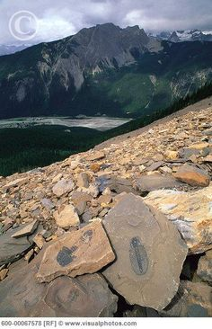 trilobite fossils in the Burgess Shale fossil beds on Mount Stephen - Burgess is one of the most plentiful and scientifically valuable fossil beds in the world