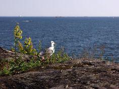 Lokki tähystää avomerelle Harakan saarelta