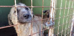 Im Mangalia (Rumänien) werden seit Jahren die Hunde gequält und grausam getötet! Der zuständige Betreiber dieses Shelter hat Spaß daran die Hunde zu quälen! Das muss jetzt aufhören!!!