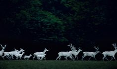 """Eekholt #1"" by Frank Stöckel, featuring a herd of rare white deer running through Eekholt Wildlife Park in Großenaspe, Germany. (© 2003) (http://www.lumas.com/pictures/frank_stoeckel/eekholt_6/)"