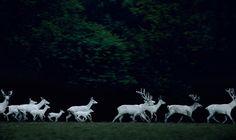 """Eekholt #1"" by Frank Stöckel, featuring a herd of rare white deer running through Eekholt Wildlife Park in Großenaspe, Germany. (© 2003) (http://www.lumas.com/pictures/frank_stoeckel/eekholt_6/)"