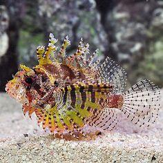 "Yellow Dwarf Fuzzy Lionfish (Dendrochirus brachypterus) - 3 1/4"" - $79.99"
