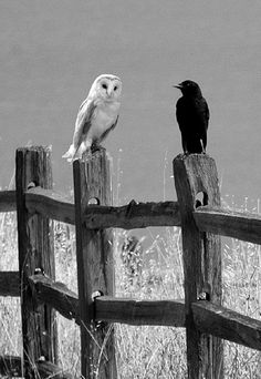 the Owl and the Crow ~ Amazing creatures! Unfortunately used by witchcraft and such, which has put a negative light, by so many well-meaning Christians, on these Special and Beautiful birds! Love Birds, Beautiful Birds, Animals Beautiful, Cute Animals, The Crow, Crows Ravens, Tier Fotos, Kraken, Bird Feathers