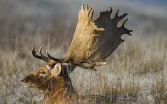 Resting Stag fallow deer (Dama dama)