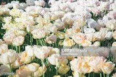 Image result for white tulips