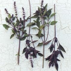 One of the most fragrant, easy to grow and abundant summer foliage plants, this handsome variety features tall, deep purple stems, glossy bicolor plum-veined leaves and brilliant amethyst flower spikes. August Flowers, Fall Bouquets, Outdoor Wedding Decorations, Foliage Plants, Types Of Plants, Cut Flowers, Deep Purple, Harvest, Wedding Flowers