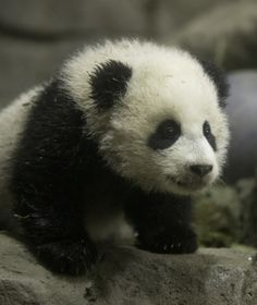 Bao Bao | A Guide to Newborn Giant Pandas | PawNation