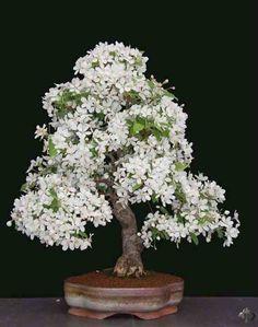 White flowered Bonsai